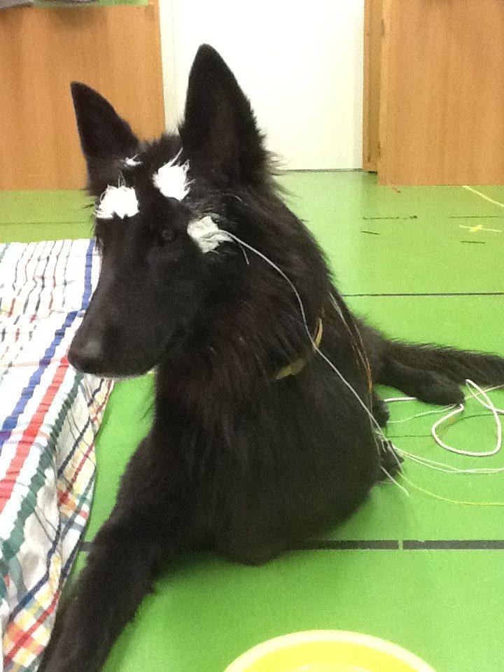 kísérleti kutya