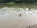 sheltie a vízben