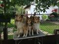 Chip, Ardi, Goldi