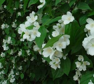 Philadelphus_pubescens_plant