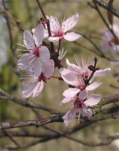 Prunus_cerasifera_Nigra