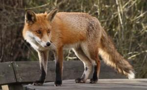 fox.banner.flickr.jpg